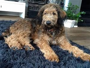 82 best images about Whoodle and Labradoodle puppies on ...
