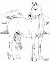 Coloring Arabian Horse Pages Printable Horses Mare Drawing sketch template