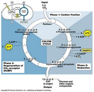 pengertian fotosintesis reaksi gelap reaksi terang