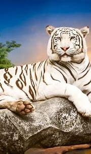 White Tiger 4k Ultra HD Wallpaper   Background Image ...
