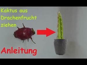 Walnussbaum Selber Pflanzen : pitahaya drachenfrucht kaktus z chten diy pflanzen aus ~ Michelbontemps.com Haus und Dekorationen
