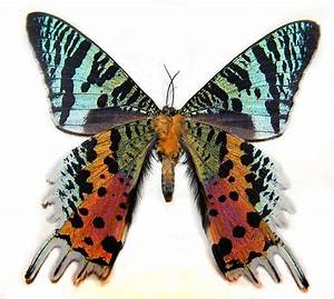 Colorful Butterfly Species | www.pixshark.com - Images ...