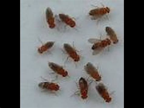 fruit flies in bathroom drain how to get rid of fruit and drain flies naturally diy