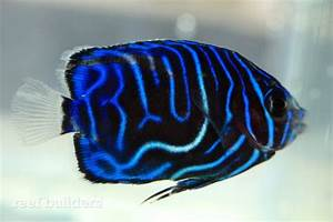 Captive bred annularis angelfish from Bali Aquarich are ...