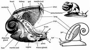 Pulmonate Land Snail Anatomy  Based On The Genus Helix