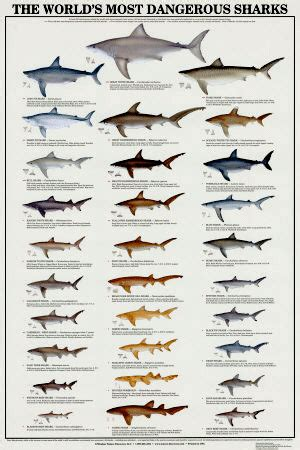 types  sharks  saltwater fishermen