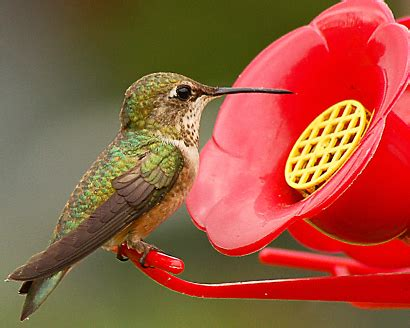 hummingbird nectar domino sugar