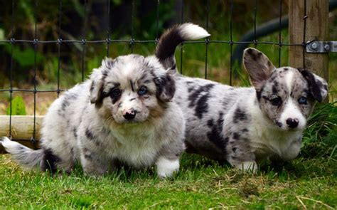 Fluffy Cardigan Corgi