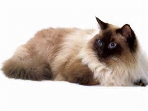 seal point cat jlm scans cat breed ragdoll seal point display