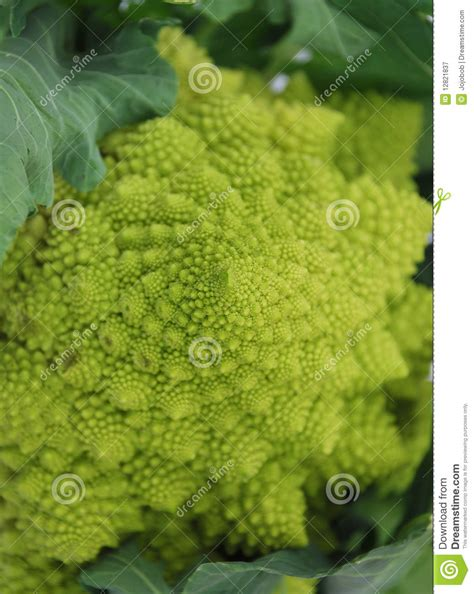 Green Cauliflower Romanesco