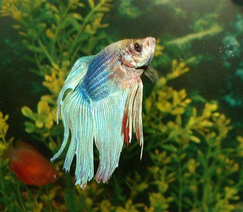 fish   betta ratemyfishtankcom