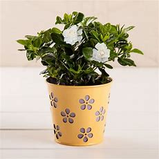 Fragrant Gardenia In Daisy Cache Cut Out Pot