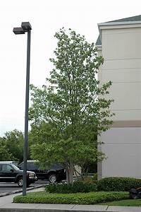 Sweetbay Magnolia (Magnolia virginiana) in Columbus Dublin