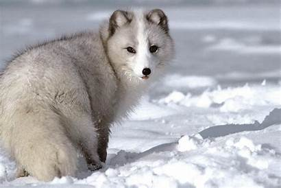 Wolf Wallpapers Desktop Wolves Backgrounds Adorable Pc