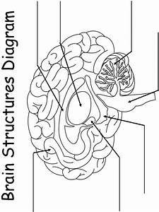 Printable Worksheet  Brain Structures Diagram