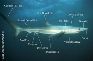 Body Features And Measurements Of Sharks Images