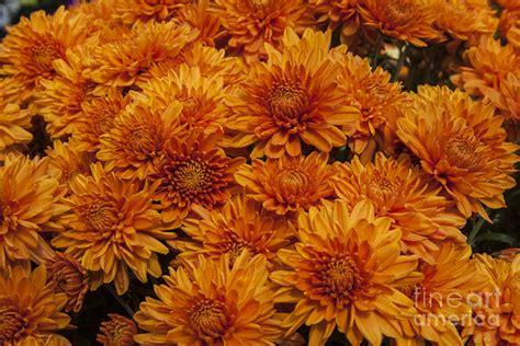 orange mums orange mums photograph by darleen stry
