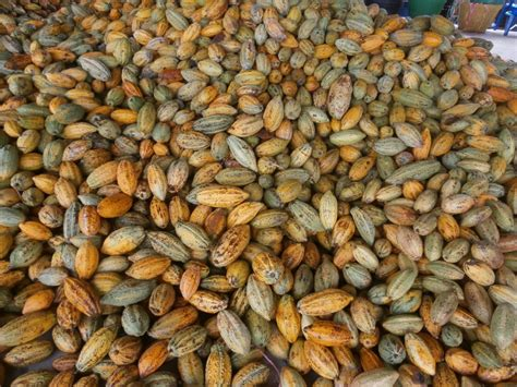 fresh thai cocoa seeds available discovery