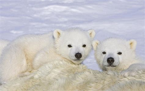 Baby Polar Bear Wallpapers