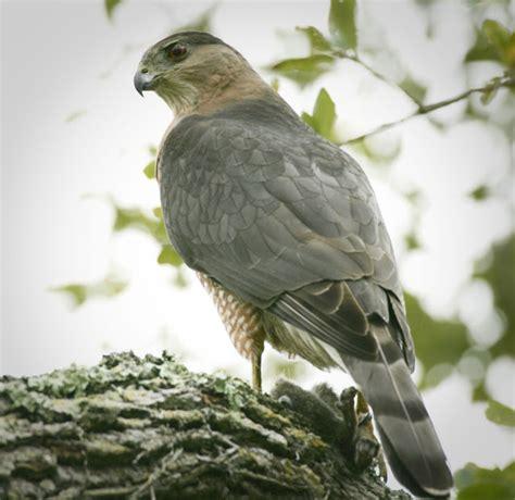 i heart florida birds a cooper s hawk