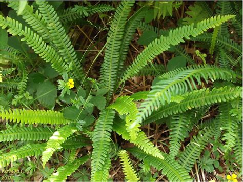ferns species ferns polystichum lonchitis is a species of fern known by flickr