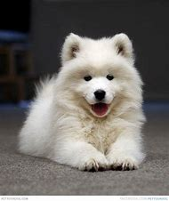 Samoyed Puppy Smile