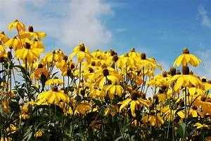 Gelbe Winterharte Pflanzen : gelb bl hende stauden winterhart pflanzen f r nassen boden ~ Markanthonyermac.com Haus und Dekorationen