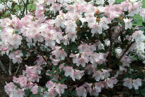growing conditions for rhododendron history of the government house gardens