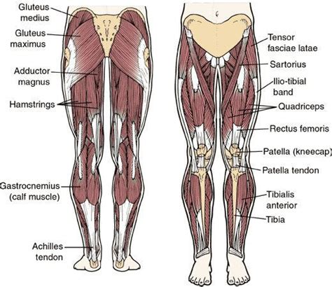 The leg muscles are organized in 3 groups: Image result for muscular parts legs | Leg muscles diagram ...