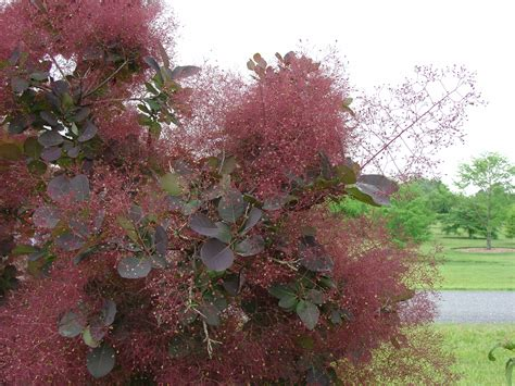 smoke tree smoketree reliable urban tree or shrub what grows there hugh conlon horticulturalist