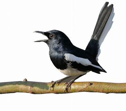 Burung Kacer Gambar Kartun Kicau Terkini Koleksi