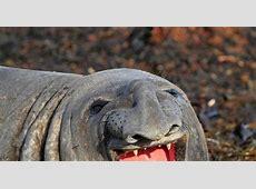 Smiling elephant seal Photos Adorable smiling animals