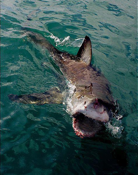 Great White Shark Wallpaper 1920X1080