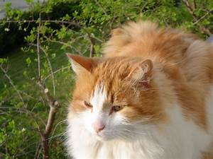 File:Norwegian Forest Cat 01.png - Wikipedia