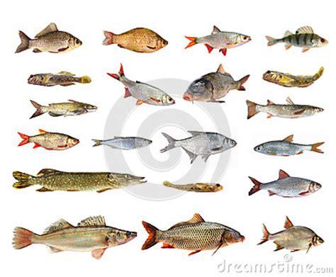 species  river fish stock photo image