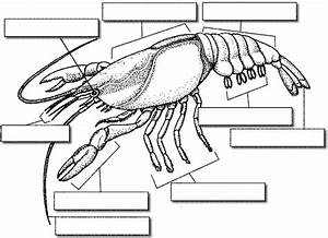 External Anatomy Of The Crayfish  Guided Observation