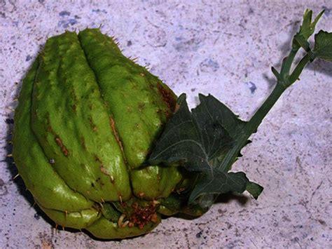 cuisiner la christophine chayotte christophine ou chouchou légume plantation