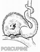 Porcupine Coloring Pages Animal Coloringway sketch template