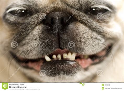Funny Pug Face stock photo. Image of face, fawn, care ...