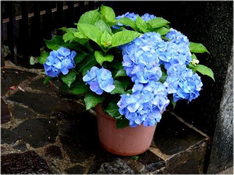 can hydrangeas be grown in pots how to grow hydrangeas plant