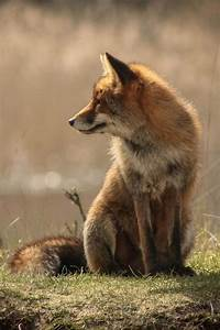 17 Best images about Fox Photographs on Pinterest | Foxes ...