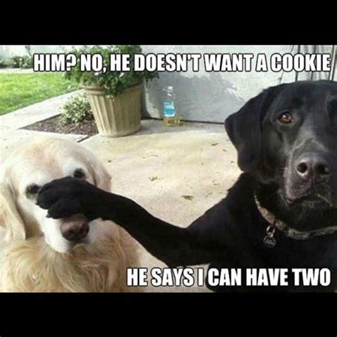 Labrador Meme - trending funny black lab memes