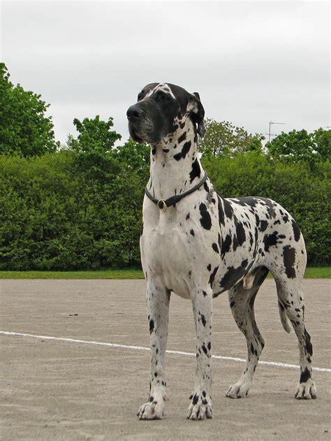 grand danois bilder filmer hundar ifokus