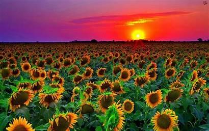Sunflower Sunset Field Wallpapers13