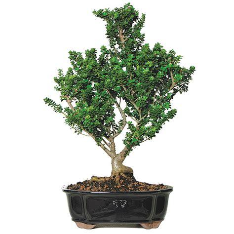 home interior figurines bonsai care