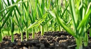 Cultiver De L Ail : l ail cultivez la association manger sant bio ~ Melissatoandfro.com Idées de Décoration