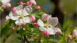 Wieviel Frost Verträgt Die Obstblüte : obstbl ten retten fl ssiggas sch tzt vor k ltetod ~ Frokenaadalensverden.com Haus und Dekorationen
