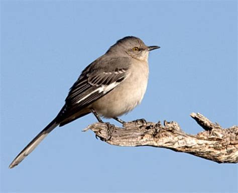 10 interesting mockingbird facts my interesting facts