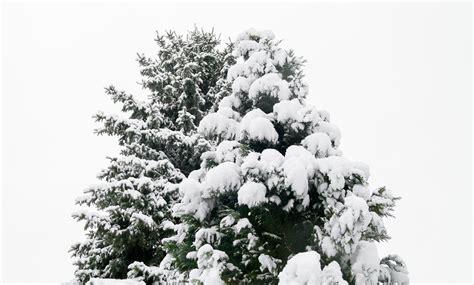 fotos gratis 225 rbol naturaleza bosque rama nieve
