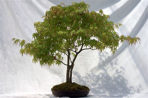 miniature indoor bonsai tree garden japanese maple tree
